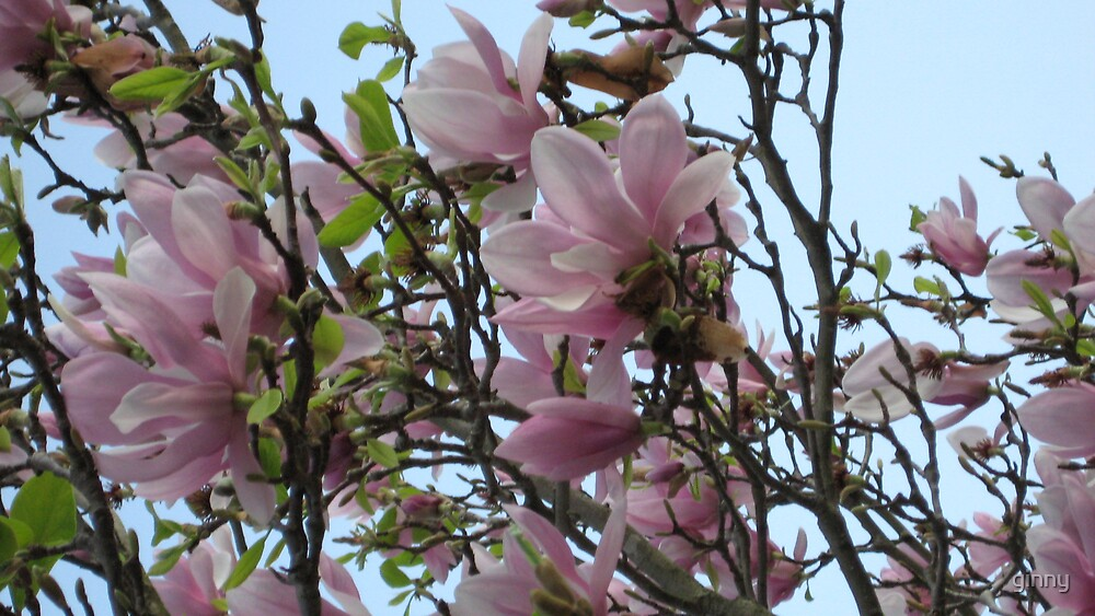 magnolia by ginny
