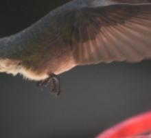 HUMMINGBIRD ANNA'S IN FLIGHT IN ANGEL WING POSITION Sticker