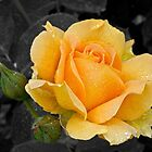 Golden rose by Celeste Mookherjee