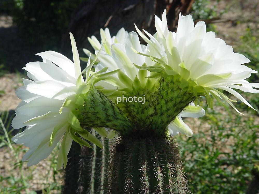 """photoj Australia, """"Flowering Catus"""" by photoj"""