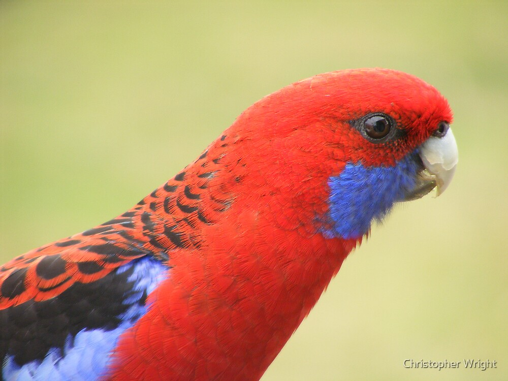 rosella 2 by Christopher Wright