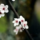 Sakura bloom by capturition