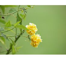 Old Time Yellow Rose Photographic Print
