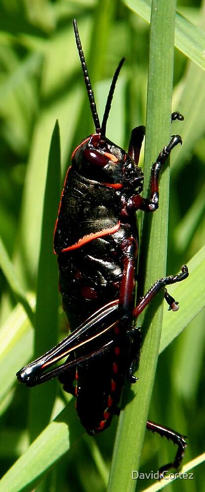 Grasshopper by David Cortez