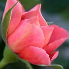 Pink Rose II by Annie Finn