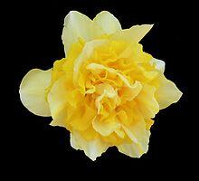 Double Daffodil by Rebanne
