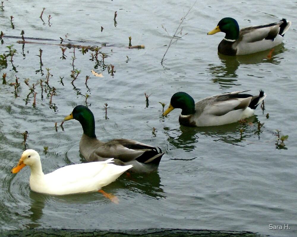 Duck, duck, duck, duck. by Sara H.
