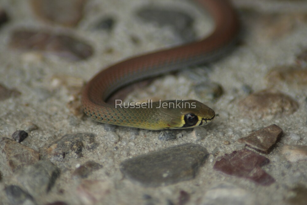 Baby Snake  by Russell Jenkins