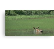 Big Bull Moose Canvas Print