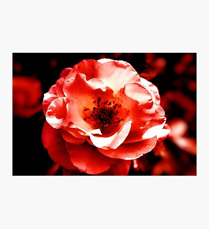 Red Dawn Rose Photographic Print