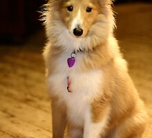 Sheltie by Moth