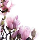 Magnolia in Bloom by Barb Leopold