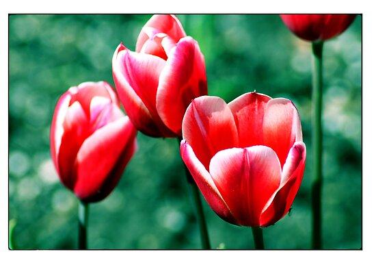 Tulips by kalliope94041