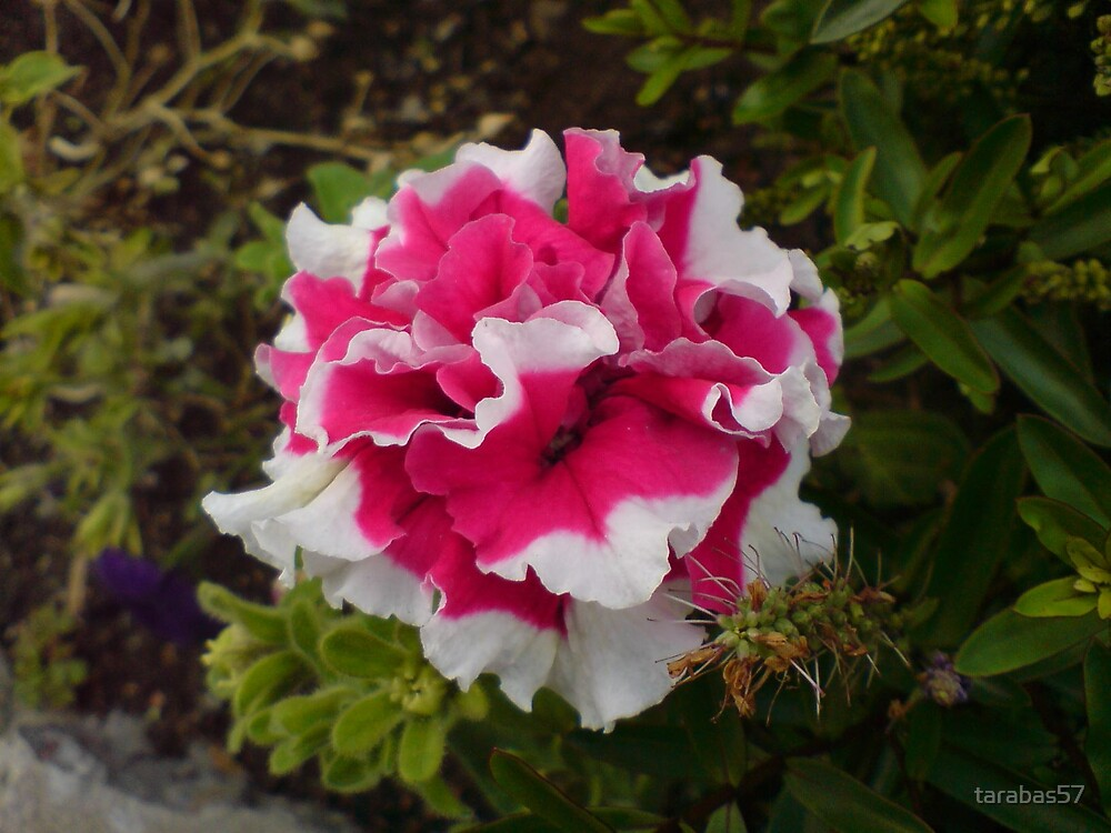 Carnation by tarabas57