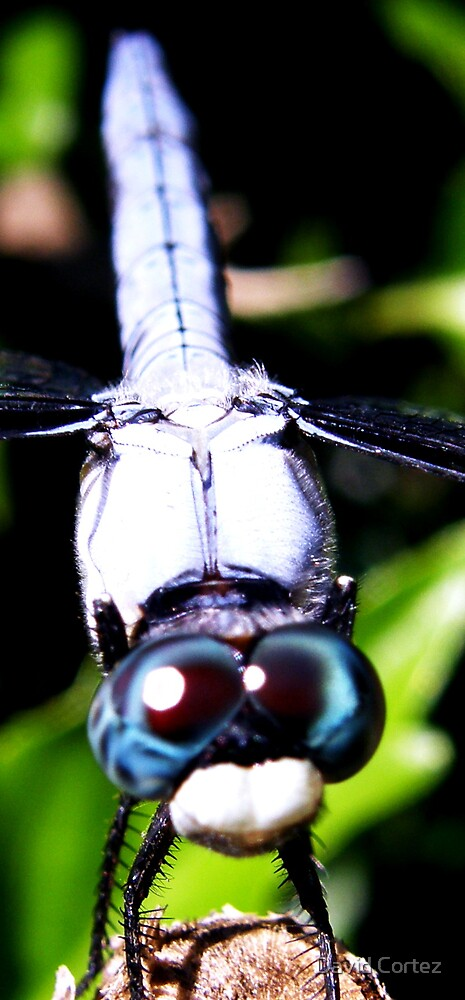 Dragon blue eyes by David Cortez