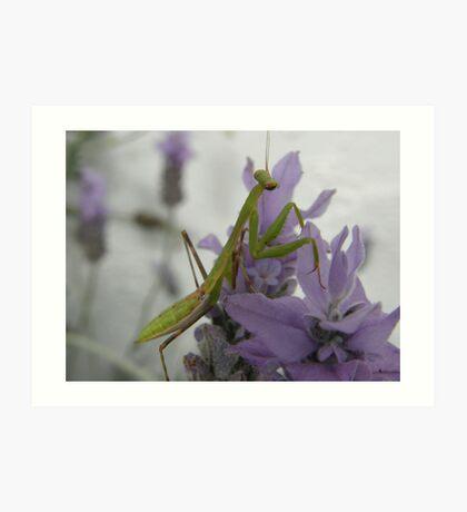 Praying Mantis on lavender Art Print