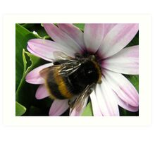Bumble Bee on mauve Daisy Art Print
