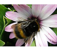 Bumble Bee on mauve Daisy Photographic Print