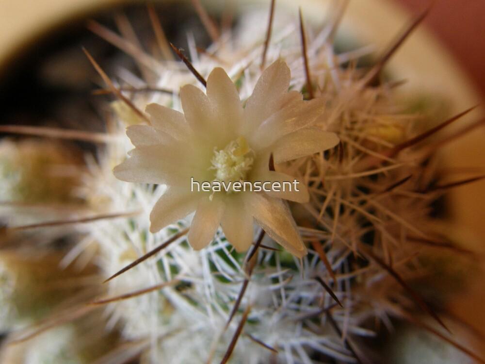 Cactus Flower by heavenscent
