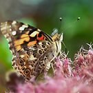Painted Lady by EkaterinaLa