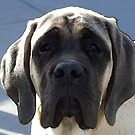 English Mastif Puppy by kalliope94041