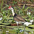 Comb-crested Jacana by Robert Elliott