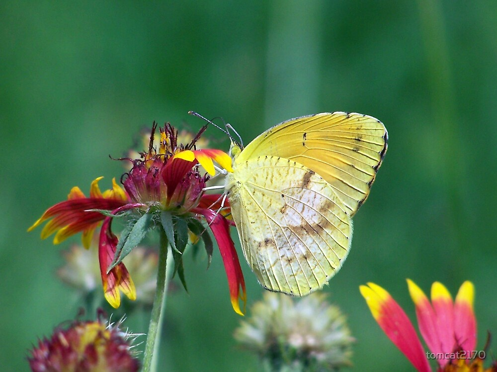 yellow butterfly by tomcat2170