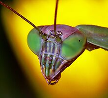 Praying Mantis (2) by robkal