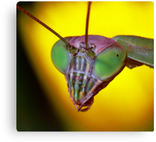 Praying Mantis (2) Canvas Print