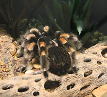 Red Knee Tarantula by IndyLady