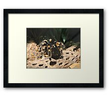 Red Knee Tarantula Framed Print