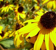 Blackeye Susan by mwfoster