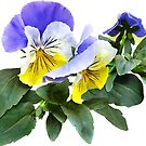 Group of Yellow and Purple Pansies by Susan Savad