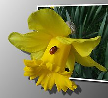 Ladybird on a Daffodil  by steve chamberlin
