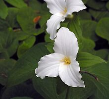 Two White Trilliums by Betty Mackey