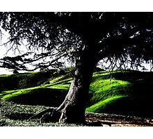 A Living Landmark - The Cedar Of Lebanon Photographic Print