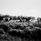 Wisconsin Cows by Al Mullen