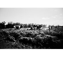 Wisconsin Cows Photographic Print