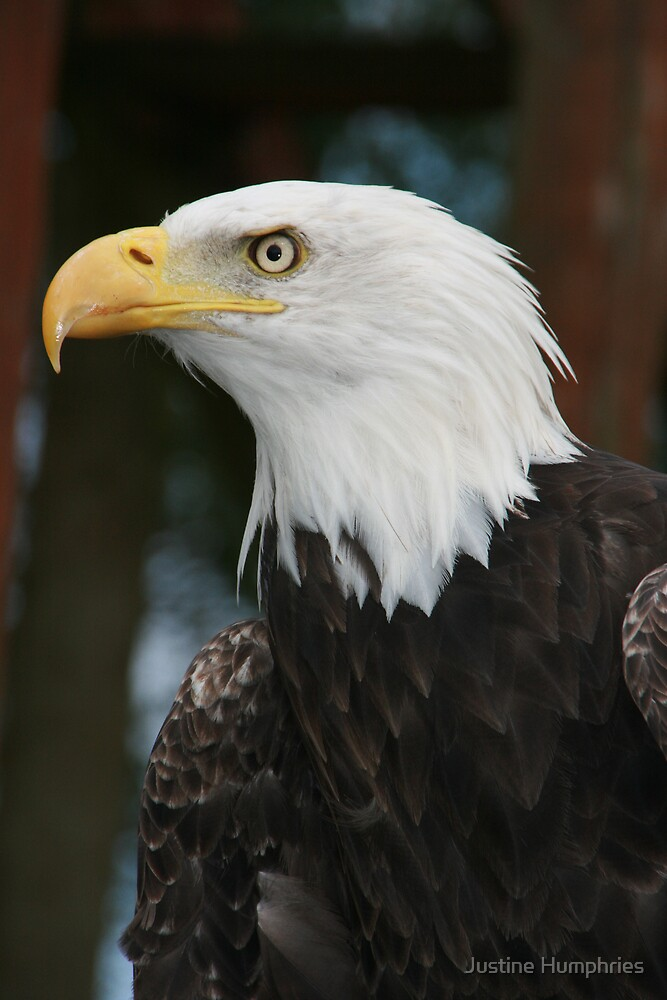 Bald Eagle by Justine Humphries