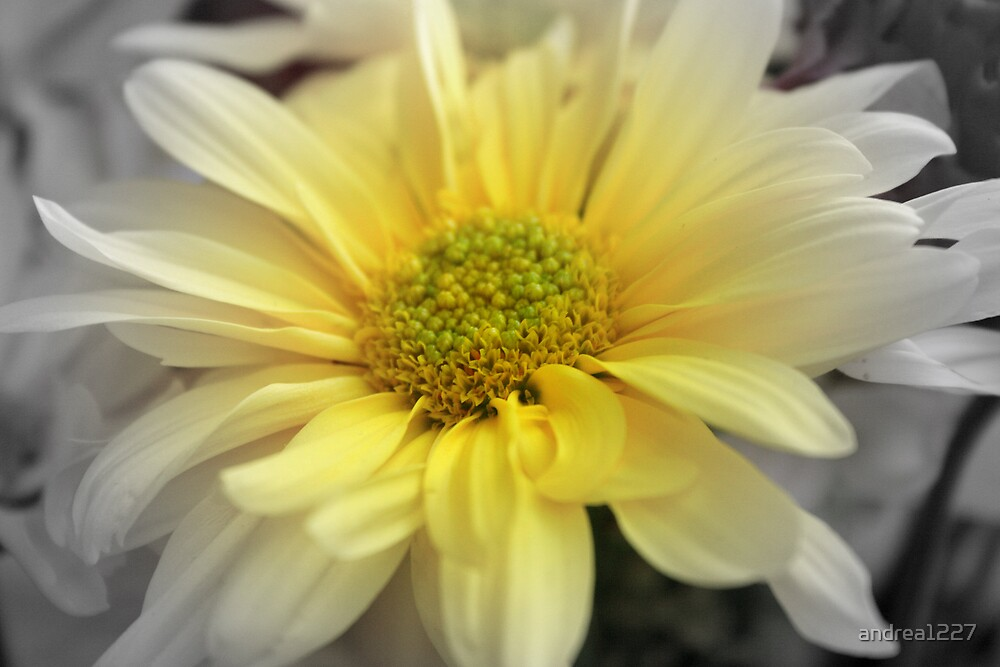 Yellow Daisy by andrea1227