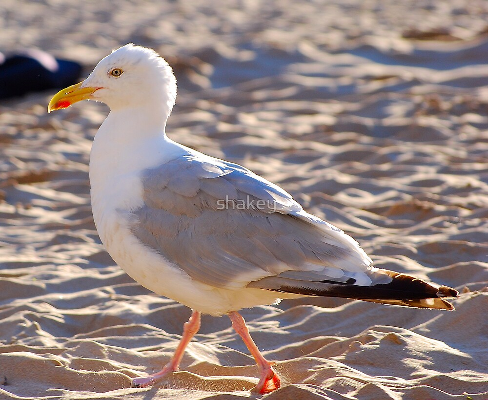 Gull on Welsh Beach by shakey