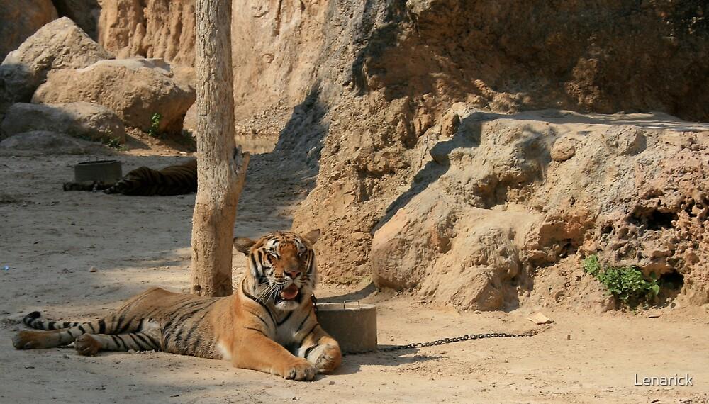 Tiger, Tiger Temple Thailand by Lenarick