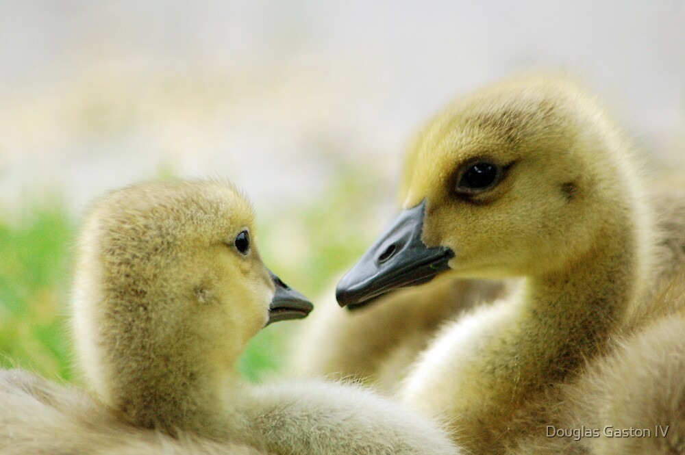 Baby Geese  by Douglas Gaston IV
