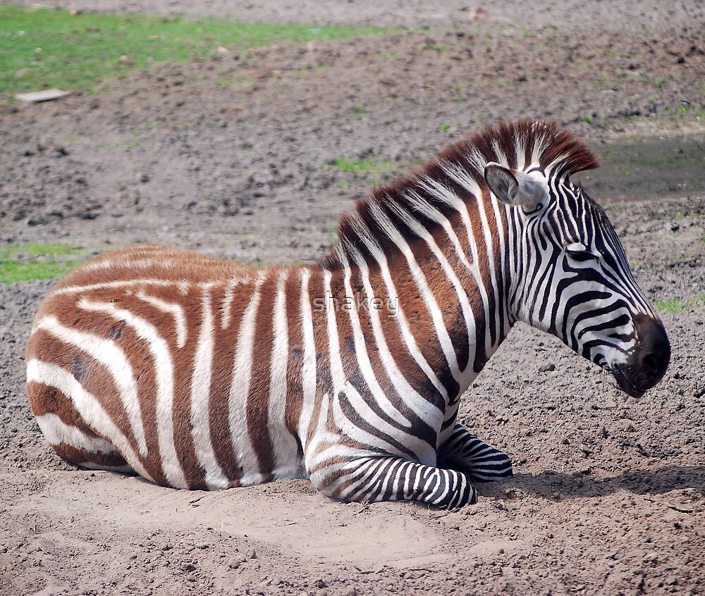 Zebra by shakey