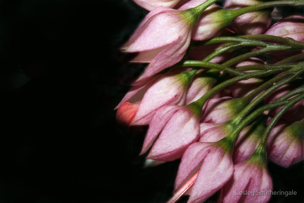 Pink buds on black by Lesley Smitheringale