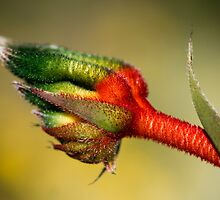 Kangaroo Paw by Lass With a Camera