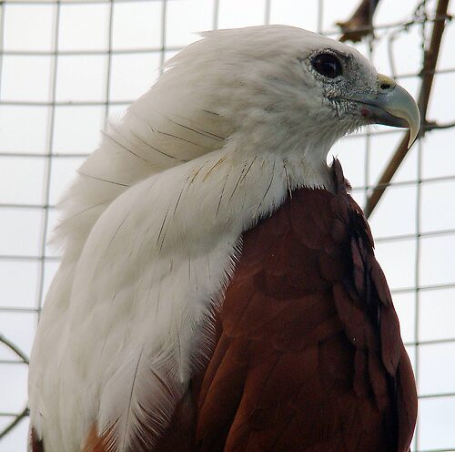 Philippine eagle by Jelynn