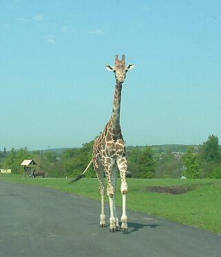 The  Giraffe by bigroy