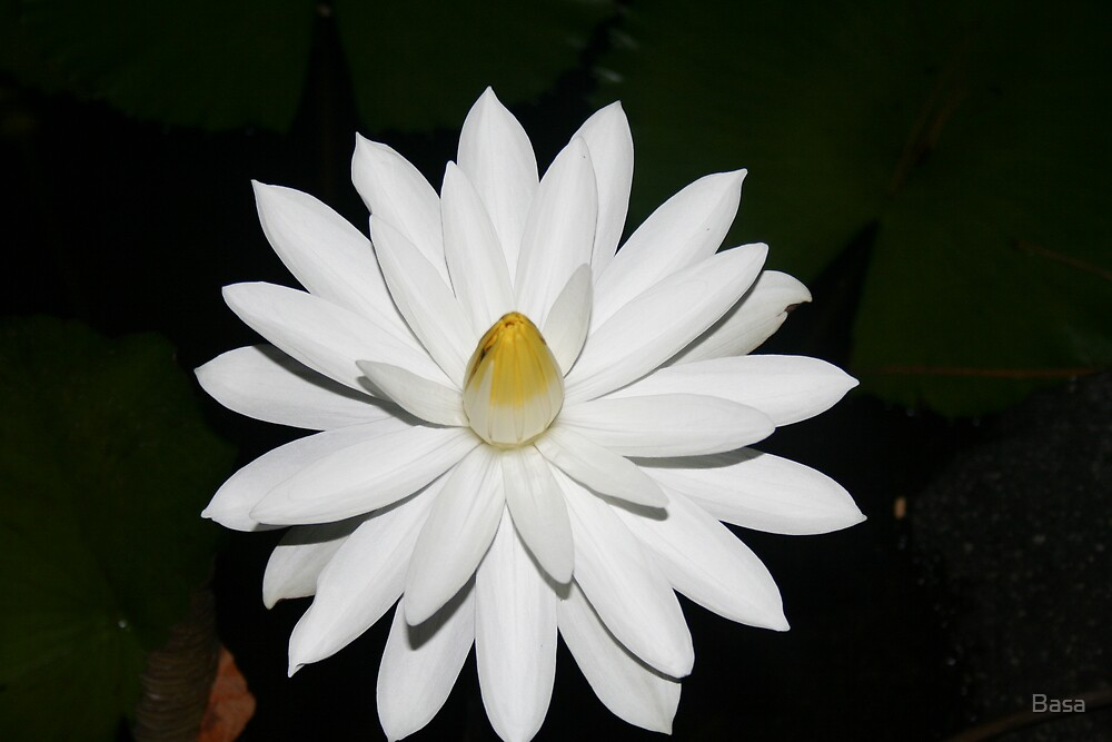 White Flower on Bora Bora Tahiti. by Basa