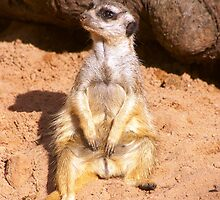 Meerkat Manner by Nick Hartigan
